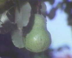 A pear from the Pear Film